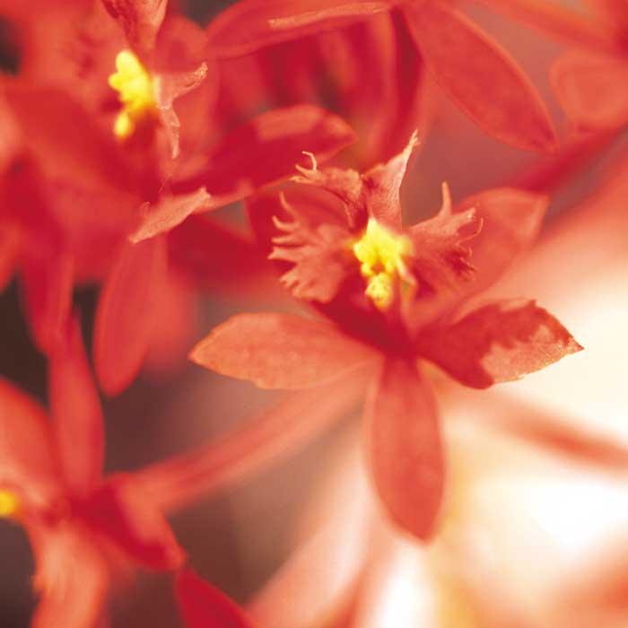 Epidendrum hybride
