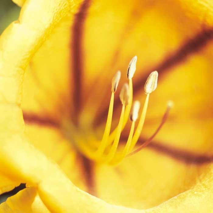 Solandra nitida