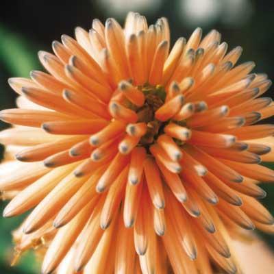 Aloe ferox red