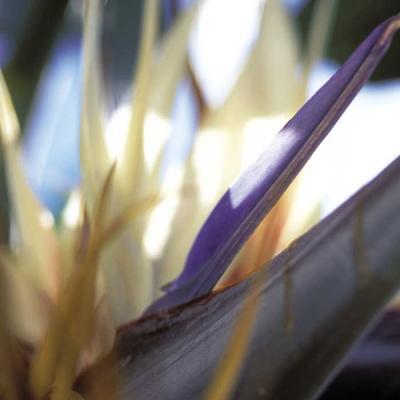 Strelitzia nicolaei
