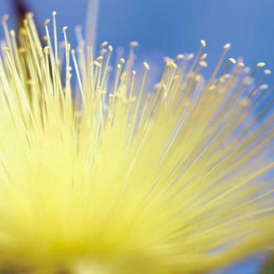 Syzygium jambos