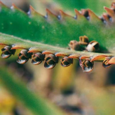 Kalanchoe daigremontiana- Blatt